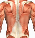 Latissimus Dorsi, Lats, Back, Rhomboids, Teres Major, Teres Minor, Upper Body anatomy picture
