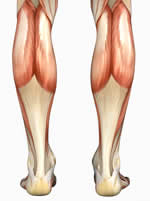 calf, calves, lower leg, gastrocnemius, lower body, gastrocs Muscle Anatomy