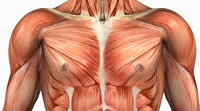 chest, pectoralis major, pectoralis minor, upper body Muscle Anatomy