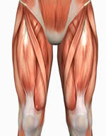 quadriceps, rectus femoris, thighs, inner thigh, outer thigh, quads, legs, lower body Muscle Anatomy