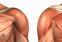 front deltoid, front delts, front of the shoulder, anterior shoulder muscle, Upper Body, Deltoids, Shoulders anatomy picture